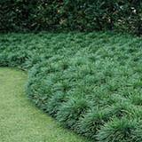 Ophiopogon japonicus 'Mondo Grass' - Flat