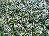 Ophiopogon japonicus 'Dwarf Mondo Grass' - Flat