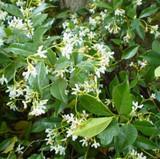 Trachelospermum jasminoides 'Star Jasmine' - Flat
