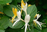 Lonicera japonica 'Japanese Honeysuckle' - Flat