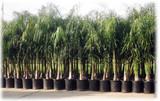 Arecastrum romanzoffianum 'Queen Palm' - 15 Gallon
