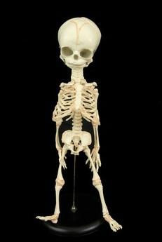fetalskeleton.jpeg