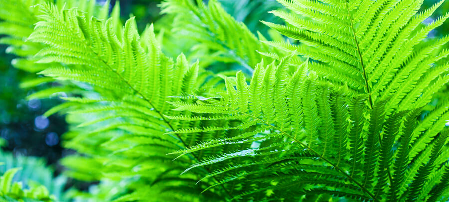 Hardy Fern Plants