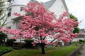 Dogwood trees for sale online low prices pink flowering2g pink floweringg mightylinksfo