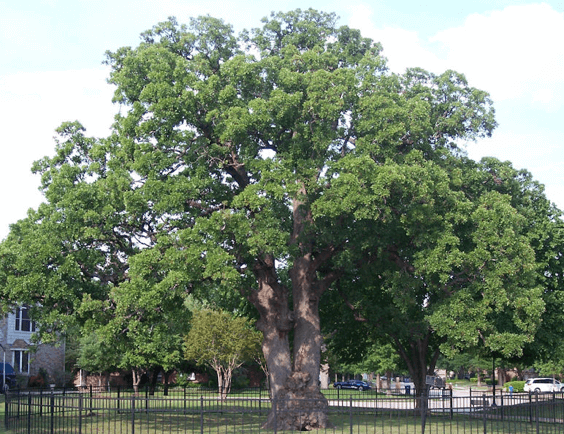 post-oak-tree.png
