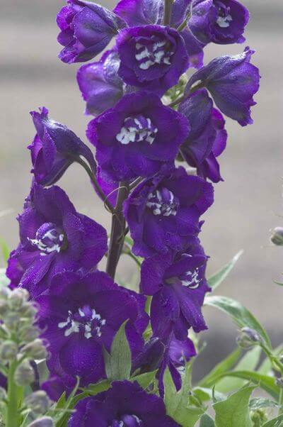 purple-larkspur2.jpg