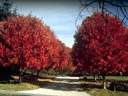 red-maple2.jpg