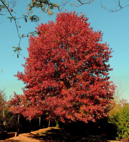 red-oak-tree.jpg