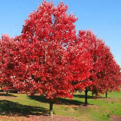 Image result for red oak trees