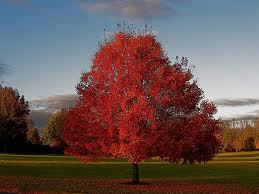 scarlet-red-maple2.jpg