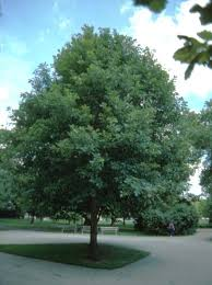 swamp-white-oak.jpg