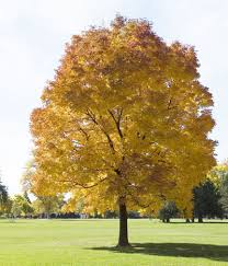 Buy Tulip Poplar Trees Online Low Prices Fast Shipping