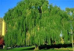 weeping-willow2.jpg
