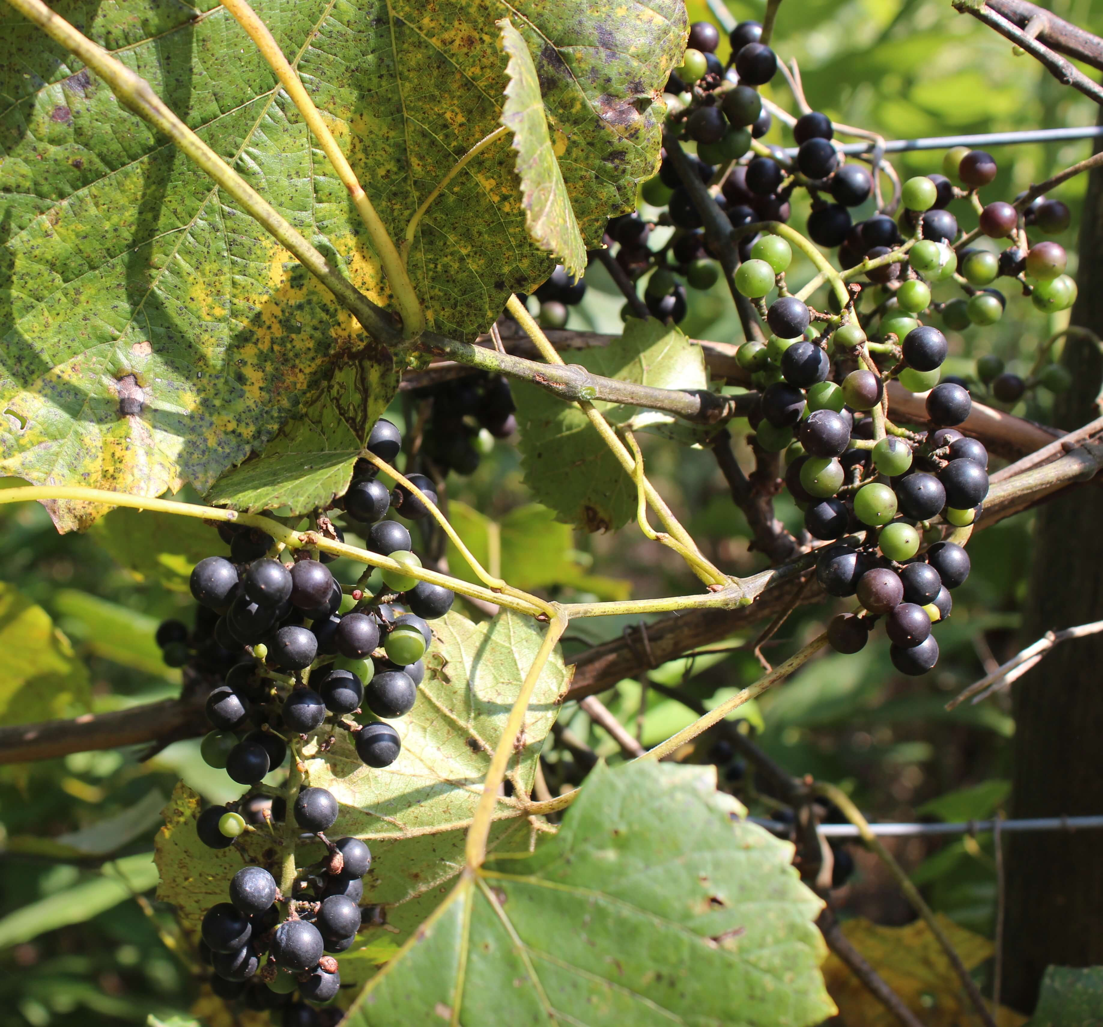 wild-grape-vine.jpg