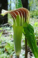 ARISAEMA TRIPHYLLUM | Jack in the Pulpit