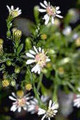 ASTER SIMPLEX | Panicled Aster