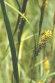 Carex lacustris, Lake Sedge