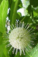 Buttonbush  | Cephalanthus Occidentalis Wildflower