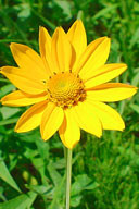 Oxeye Sunflower Wildflower Perennial seeds and plants at Ion Exchange.