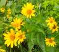Oxeye Sunflower - Heliopsis helianthoides  in full bloom at Ion Exchange native seed and plant nursery in northeast Iowa.