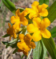 LITHOSPERMUM CANESCENS | Hoary Puccoon