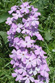 PHLOX MACULATA | Wild Sweet William