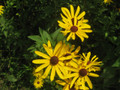 Sweet Black Eyed Susan - Ion Exchange, Inc. | Rudbeckia subtomentosa
