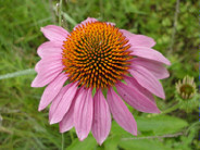 CRP Mix includes Pale Purple Coneflower