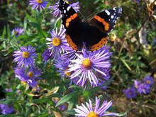 Red Admiral Butterfly on New England Aster - Aster novae-angliae