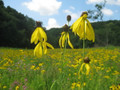 Yellow Coneflower - Ratibida pinnata