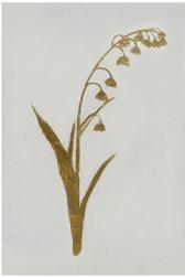 Golden Flora I