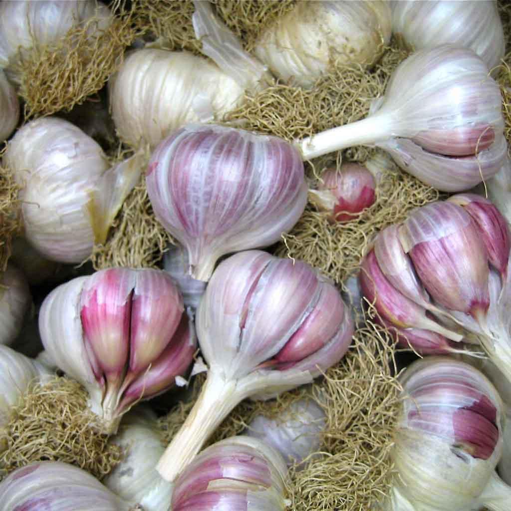 Italian Red Rocambole Garlic Certified Organic - Bulk