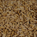 Hockett Malting Barley