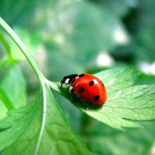 Ladybugs - 1 gal