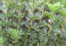 Bell Beans Certified Organic