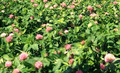 Kenland Red Clover - Certified Organic