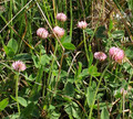 Palestine Strawberry Clover