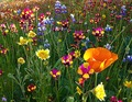 California Brilliant Wildflower Mix