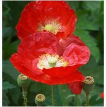 American Legion Poppy