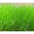 Pacific Living Tall Fescue Blend Seeds