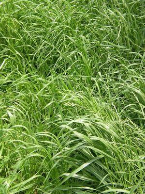Perennial Rye Grass Harmony Farm