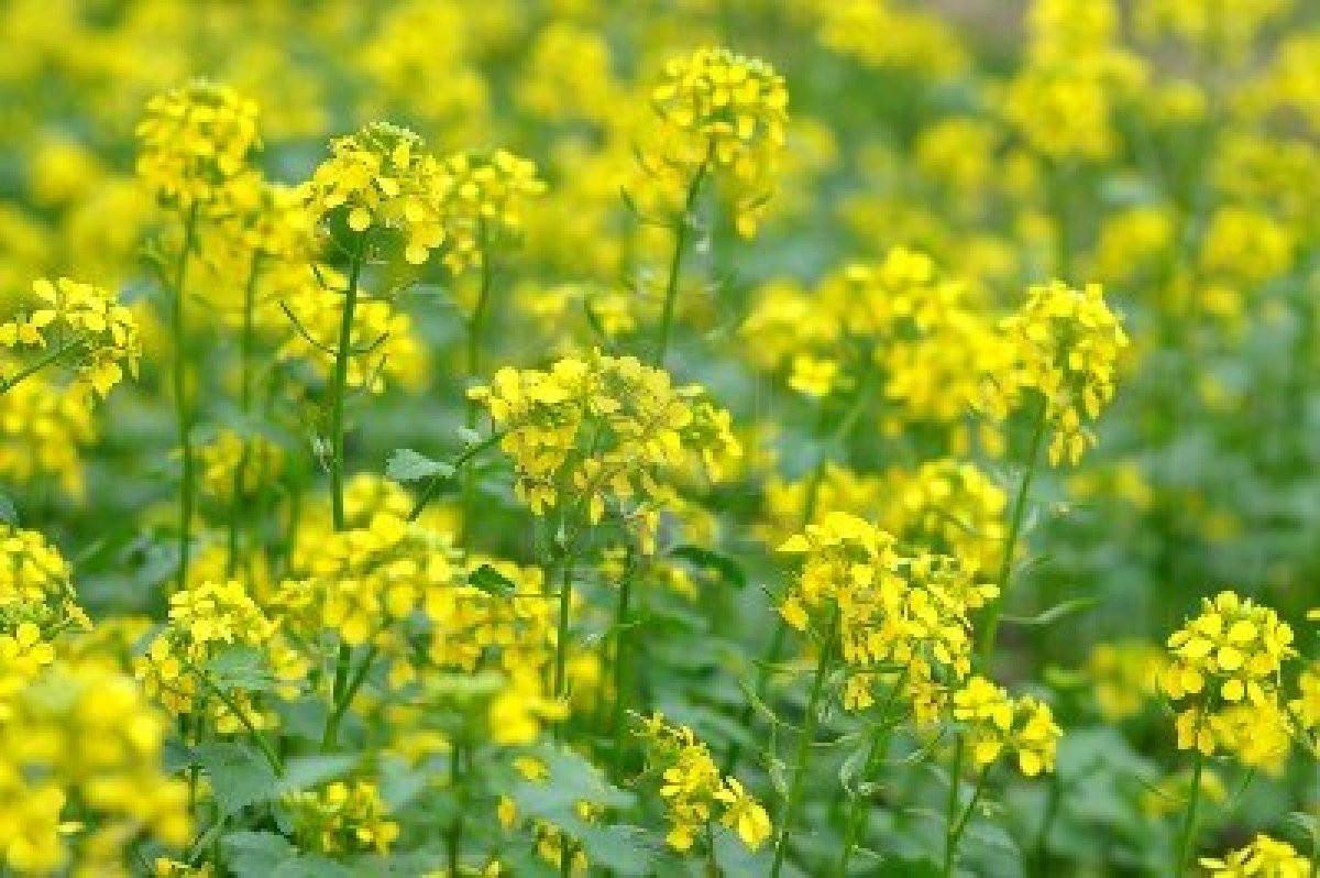 Common Yellow Mustard Harmony Farm