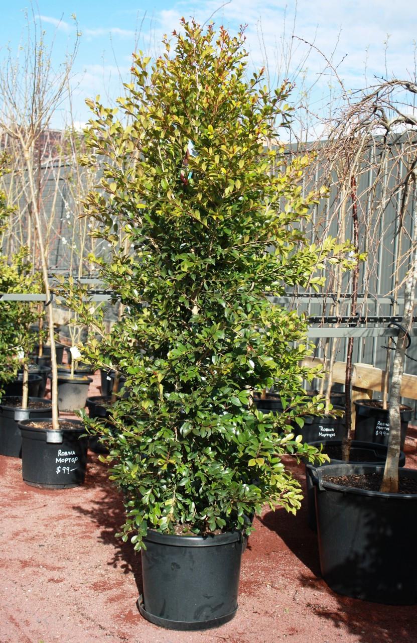 Lilly Pilly Backyard Bliss 40cm Pot Grow Master Heatherton
