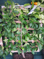 Espalier. Eureka Lemon. Small