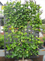 Espalier Eureka Lemon (large)