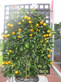 Espalier Valencia Orange (large)
