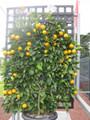 Espalier Valencia Orange (large)