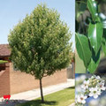 Ornamental Pear - Korean Sun