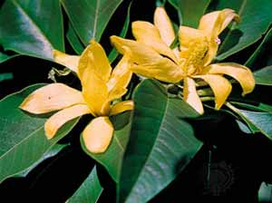 champaca-flower.jpg