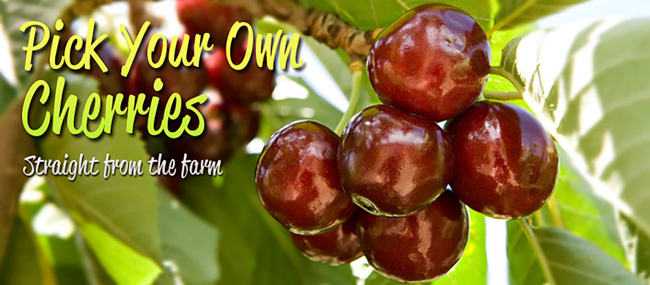 pick your own cherries at Wombat Heights Orchard